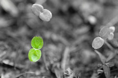 Green seedling in the ground on black and white background. Small green seedling in the ground on black and white background Royalty Free Stock Photos