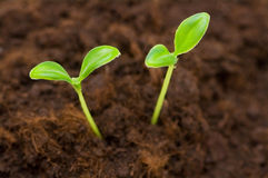 Green seedling growing. Out of the soil Stock Image