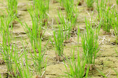 Green seedling growing out of soil Royalty Free Stock Photos