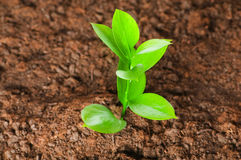 Green seedling growing out of soil Royalty Free Stock Images