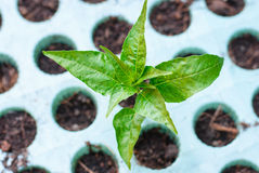Green seedling growing out of soil Stock Image