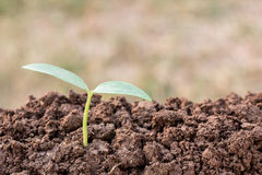 Green seedling growing out of soil in sunshine Royalty Free Stock Photos