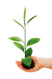 Green seedling in hand isolated Royalty Free Stock Photos