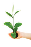 Green seedling in hand isolated Royalty Free Stock Images
