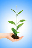 Green seedling in hand isolated Royalty Free Stock Photography
