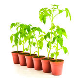 Green seedling illustrating concept of upstart is isolated Stock Photography