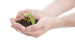 Green seedling in male hands Stock Photo