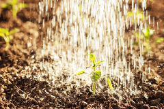 Green seedling of paprika plant watered by shower Royalty Free Stock Photos