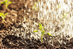 Green seedling of paprika plant watered by shower Stock Photos