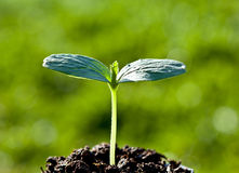 Green seedling (sprout) Royalty Free Stock Images