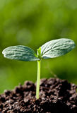 Green seedling (sprout) Royalty Free Stock Photography
