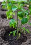 Green seedling of sweet pepper Royalty Free Stock Photos
