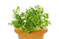 Green seedlings Stock Photography