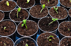 Green seedlings. In the pots, high resolution Royalty Free Stock Images