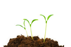 Green seedlings royalty free stock photography