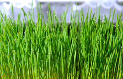 Green seedlings of cereal crops Royalty Free Stock Images