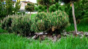 Green seedlings of coniferous trees in garden. Stock footage. Young coniferous trees with cones planted in well-kept