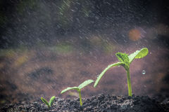 Green seedlings growing. On the ground in the rain Stock Image