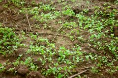 Green seedlings growing out of soil Stock Photography