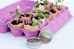 Green seedlings growing out of soil in egg shells Stock Images