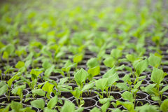 Green seedlings grown in a row in glasshouse Royalty Free Stock Photo