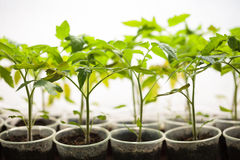 Green seedlings grown in a row in greenhouse Stock Photo