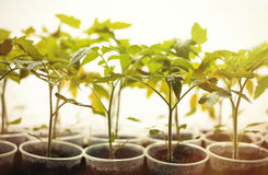 Green seedlings grown in a row in greenhouse Stock Image