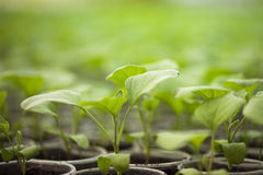 Green seedlings grown in a row in greenhouse Stock Photos