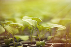 Green seedlings grown in a row in greenhouse. Rows of green plant seedlings in greenhouse. Cultivated young sprouts in rich soil were grown under the sun in Stock Photo