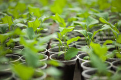 Green seedlings grown in a row in greenhouse Royalty Free Stock Photos