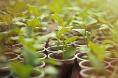 Green seedlings grown in a row in greenhouse Royalty Free Stock Photo