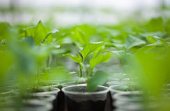 Green seedlings grown in a row in hothouse Royalty Free Stock Images