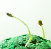 Green seedlings growth. Growth of green seedlings, fenugreek sprout from green surface Royalty Free Stock Photo