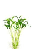 Green seedlings isolated royalty free stock image