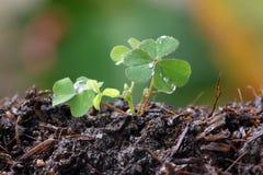 Green seedlings. Royalty Free Stock Image