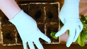 Green seedlings with roots on the background of the table and peat pots with soil. We plant seedlings with roots in peat pots, fill the ground, make holes in the stock footage