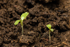 Green seedlings. Green seedling growing from soil Royalty Free Stock Images