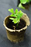 Green seedlings in small brown  pots little Stock Photography
