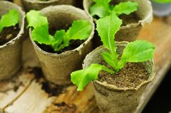 Green seedlings in small brown  pots little Stock Images
