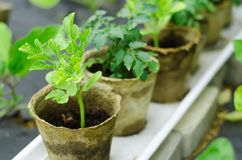 Green seedlings in small brown  pots little Royalty Free Stock Photo