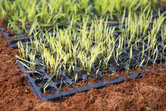 Green seedlings on small tray Stock Images