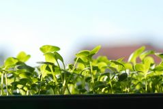 Green seedlings on sunlight Royalty Free Stock Photo