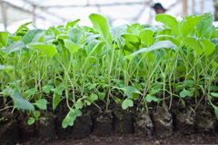 Green seeds. In the green house ready to plants Royalty Free Stock Images