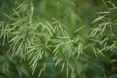 Green Seeds of Wild Grass Royalty Free Stock Images
