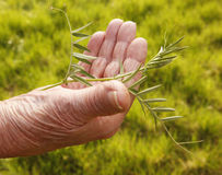 Green Senior. The senior hand holds a green leafy plant over a grassy background Royalty Free Stock Photo
