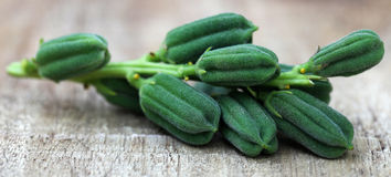 Green sesame pods Royalty Free Stock Image