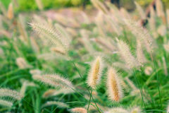 Green Setaria in the park Stock Image