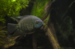 Green Severum Royalty Free Stock Image