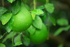 Green shaddock fruit Royalty Free Stock Photo