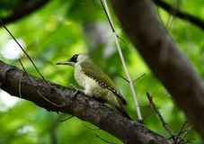 Green woodpecker in green background. Stock Photos